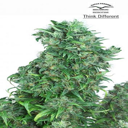 Dutch Passion Seeds Think Different Auto Feminized