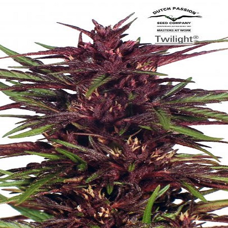 Dutch Passion Seeds Twilight Feminized