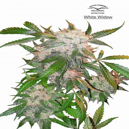 Dutch Passion Seeds White Widow Regular