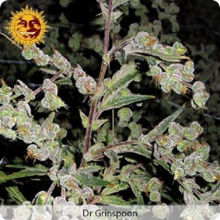 Barney's Farm Seeds Dr Grinspoon Feminized