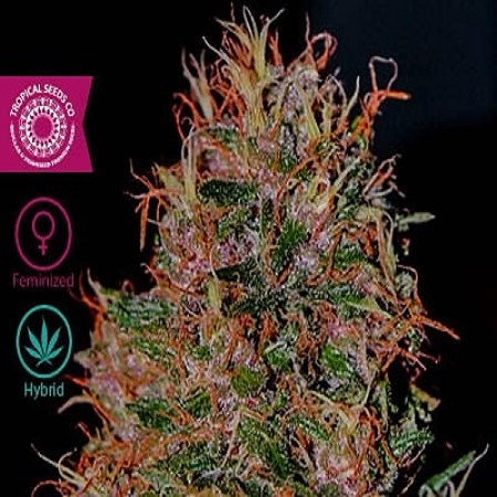 Tropical Seeds Co Durbakistan Feminised
