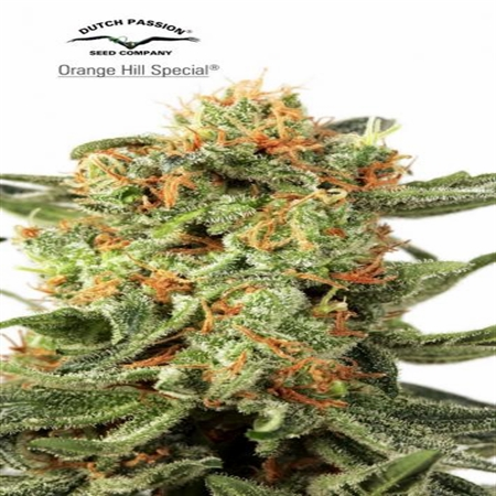 Dutch Passion Seeds Orange Hill Special Regular
