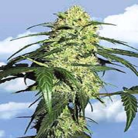 Flying Dutchmen Seeds Dutch Delight Feminized