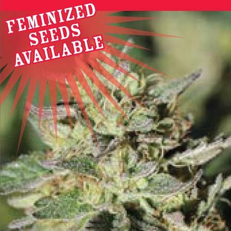 Early Girl O.G. Hybrid - Feminized - Humboldt Seed Company