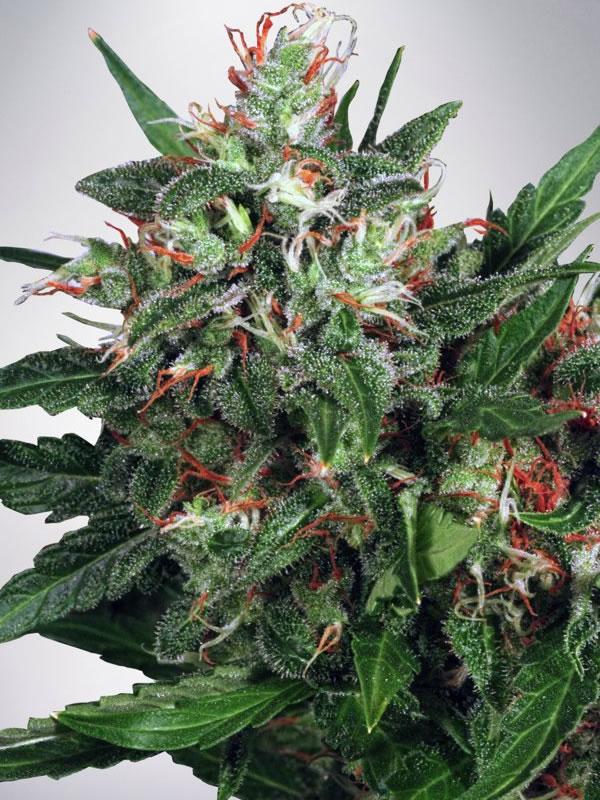 Ministry of Cannabis Seeds Early XXX Feminized