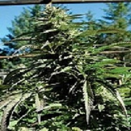 Emerald Triangle Seeds Blueberry Headband Regular