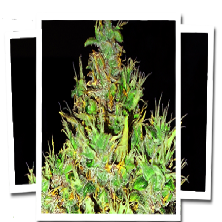Emerald Triangle Seeds OG Critical Regular
