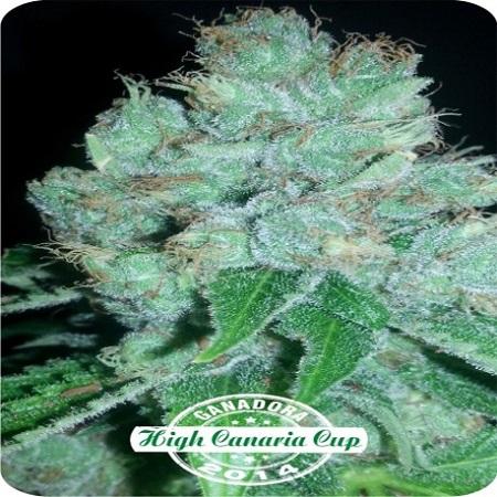 Eter Blueberry - Feminized - Dispensario Seeds