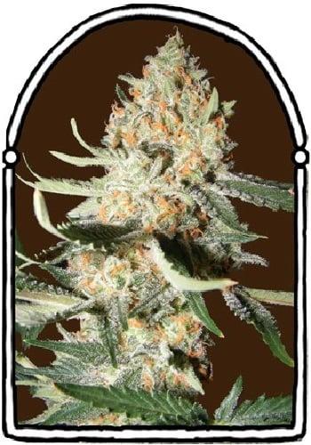 The KushBrothers Seeds Exotic Kush Feminized (PICK N MIX)