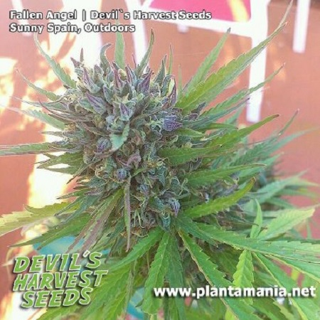 Devil's Harvest Seeds Fallen Angel Feminized