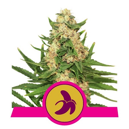 Royal Queen Seeds Fat Banana Feminized (PICK N MIX)