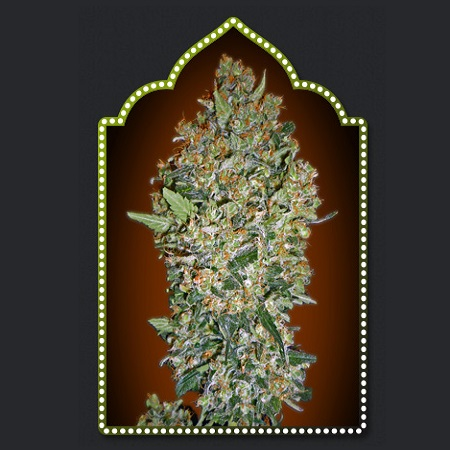 OO Seeds Feminized Collection #1