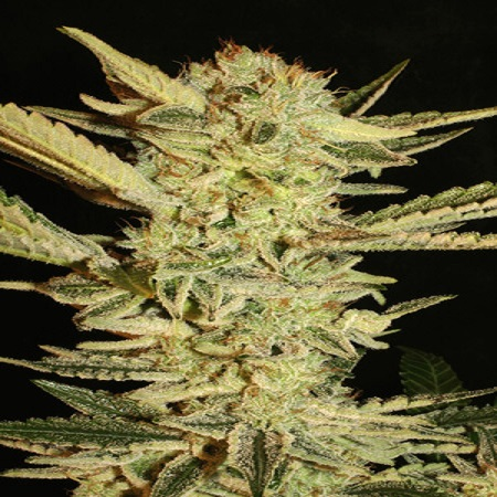 Super Strains Seeds Automatic Fini Feminized (PICK N MIX)