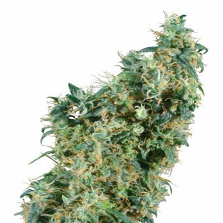 Sensi Seeds First Lady Regular