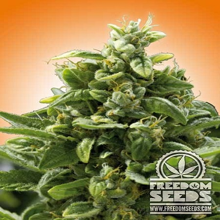 Freedom Seeds Freedom Cheese Feminized