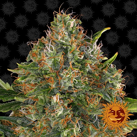 Barney's Farm Seeds G13 Haze™ Regular