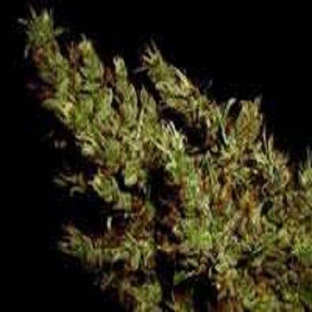 Soma Seeds G13 Haze x Haze Heaven Regular