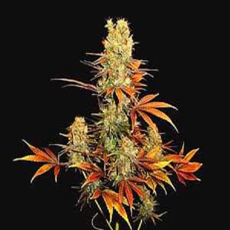 Soma Seeds G13 Haze x Somango Regular