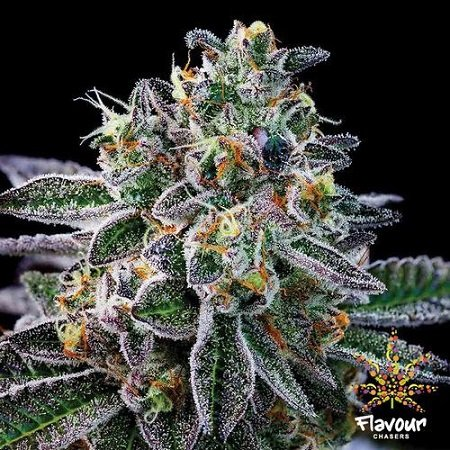 Flavour Chasers Seeds Gelato #33 Feminized