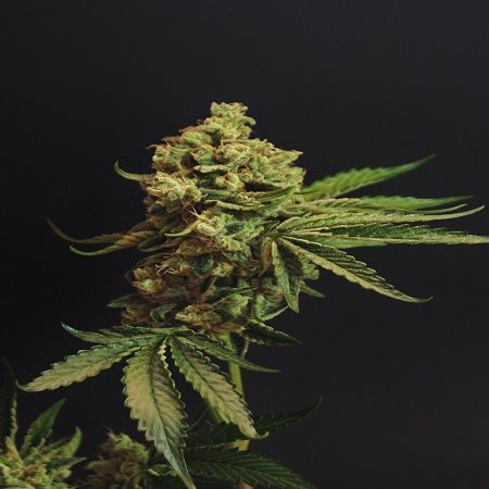 Rare Dankness Seeds Ghost Train Haze #1 Feminized