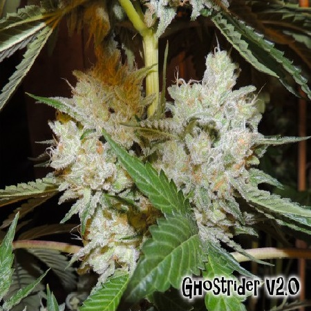 Karma Genetics Seeds Ghostrider V2.0 Regular