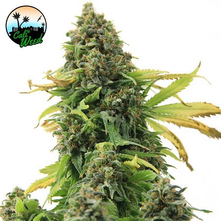 Girl Scout Cookies - Feminized - Cali Weed