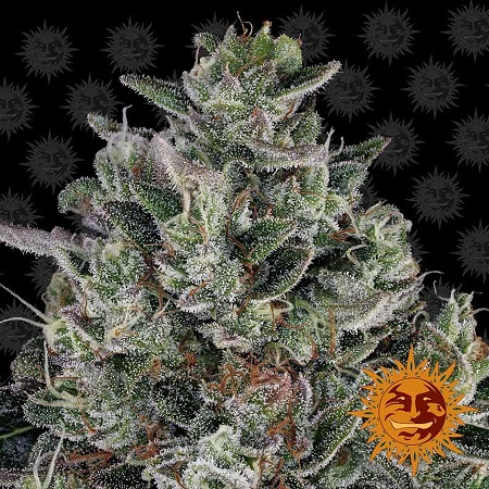 Barney's Farm Seeds Glookies Feminized (PICK N MIX)