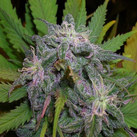 BC Bud Depot Seeds God's Gift Feminized