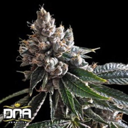 Golden Lemons – Feminized – DNA Genetics