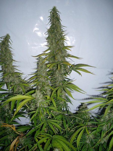 Ace Seeds Golden Tiger Feminized (PICK N MIX)