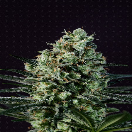 Genofarm Seeds Goldenberry Feminized