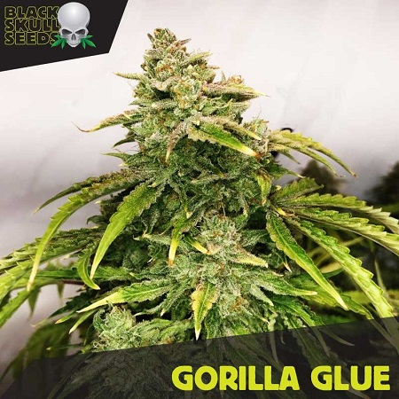 Black Skull Seeds Gorilla Glue Feminized