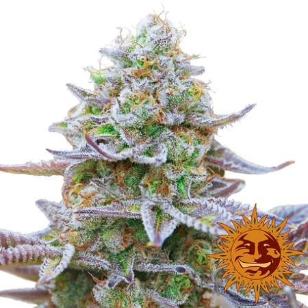 Barney's Farm Seeds Gorilla Zkittlez Feminized (PICK N MIX)