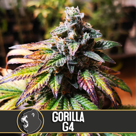 BlimBurn Seeds Gorilla Glue #4 Feminized