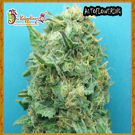 Dr Krippling Seeds Grand Heft Auto Feminized (PICK N MIX)