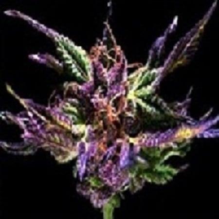 Grand Daddy Purple Seeds Original Grand Daddy Purp Regular
