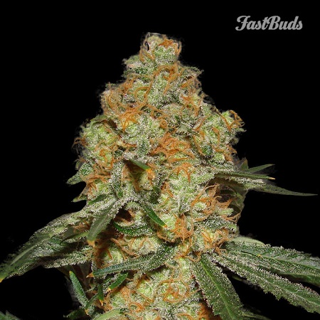 FastBuds Seeds Grapefruit'matic Auto Feminised (PICK N MIX)