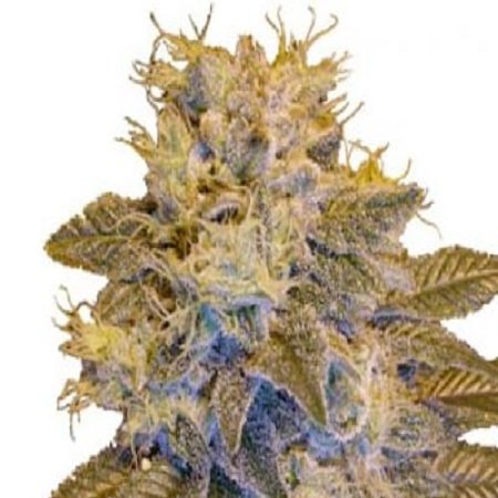 Next Generation Seeds Grapefruit Kush Regular