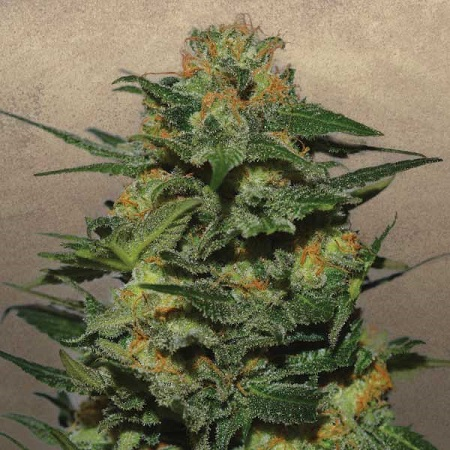 Garden of Green Seeds Green Crack Feminized