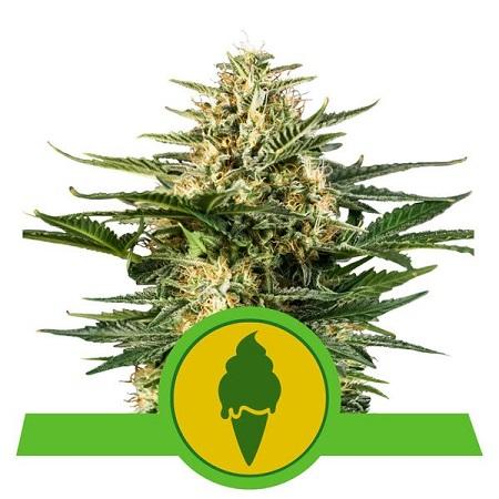 Green Gelato Auto - Feminized - Royal Queen Seeds