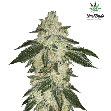 FastBuds Seeds Green Crack Auto Feminised