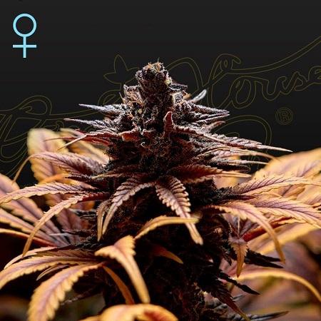 Deep Candy (CBD) - Feminized - Green House Seeds