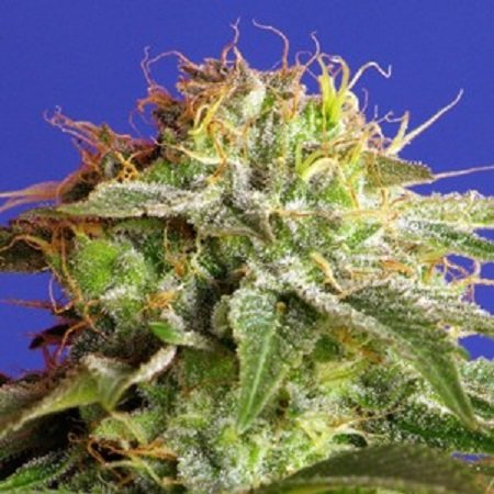 Sweet Seeds Green Poison F1 Fast Version Feminized