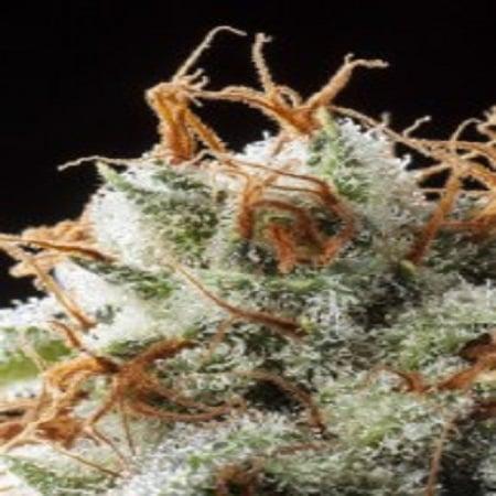 Elemental Seeds Grizzly Kush Regular