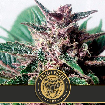 Grizzly Purple Auto - Feminized - BlimBurn Seeds
