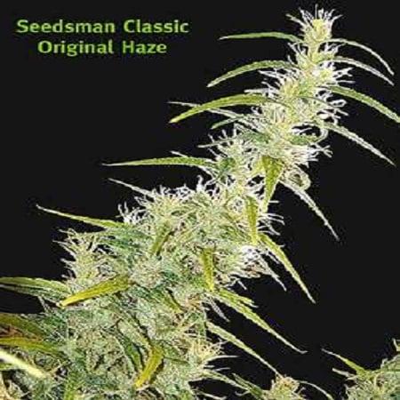 Seedsman Seeds Original Haze Regular