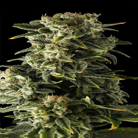 Bulk Seeds Automatic Haze Feminized