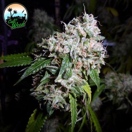 California Headband - Feminized - Cali Weed
