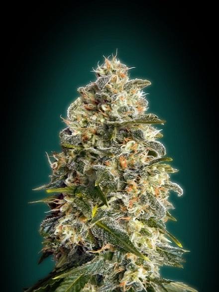 Advanced Seeds Heavy Bud Feminized