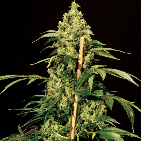 Sensible Seeds Premium Selection High-Jack Feminized